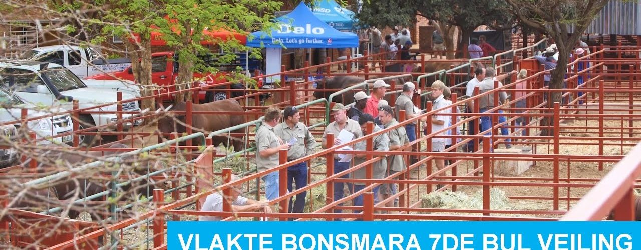 Vlakte Bonsmara 7de Bul Veiling 2016 Hoogtepunte